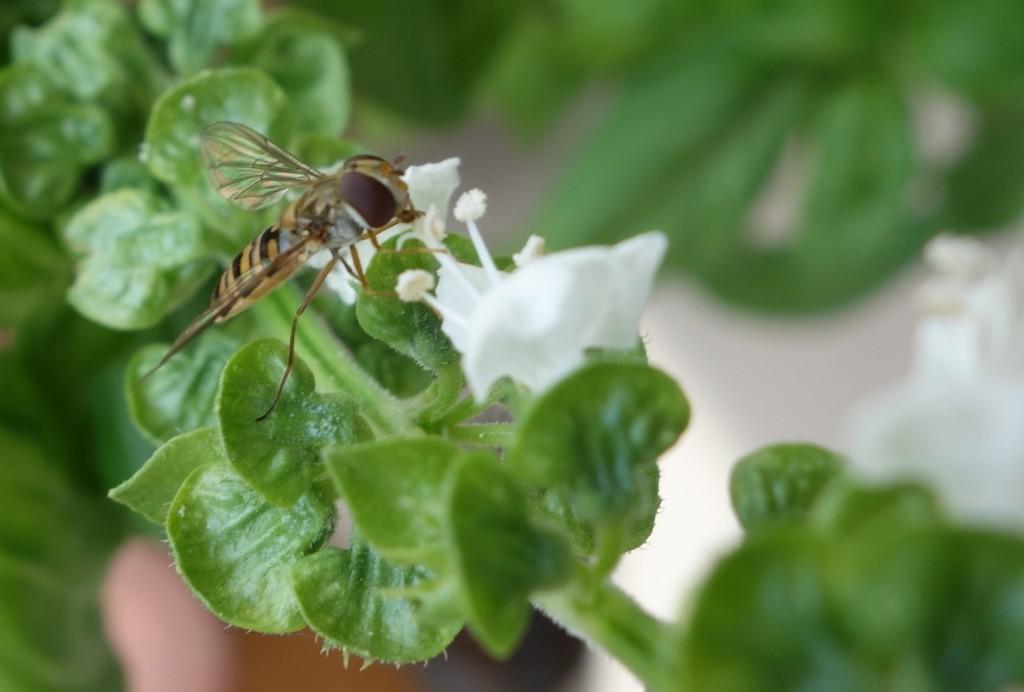 Butinage sur une fleur de basilic (photo : J.-O. T.)